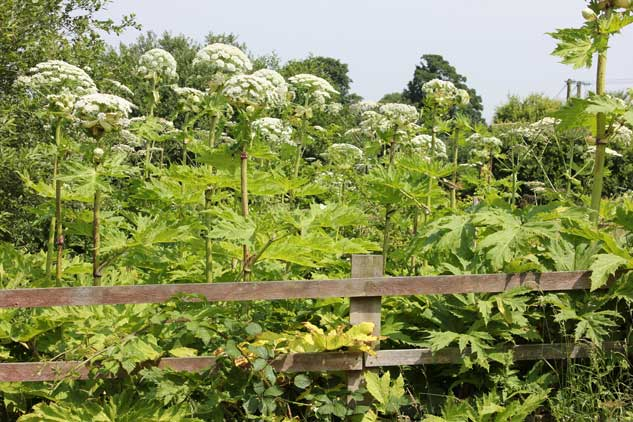In Summer Giant Hogweed Can Reach A Height Of 5 Metres It Too Is A Perennial Meaning That In Winter The Leaves And Flowers Die And Fall Off The Plant
